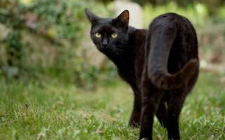 Сальмонеллез у кошки