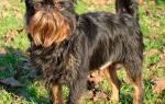 Описание породы Малые бельгийские собаки