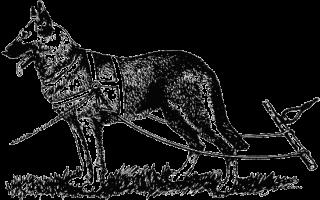 Как начать дрессировку собачьей упряжки