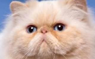 Персидская кошка — описание пород котов