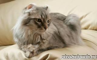 Американский кёрл — описание пород котов