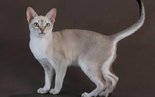 Сингапурская кошка — описание пород котов