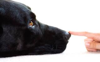 Как подготовить вашу собаку к выставке