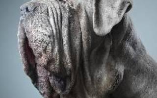 Описание породы Неаполитанский мастиф