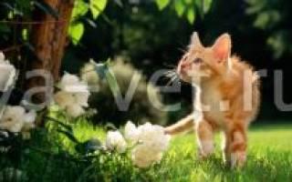 Астма (аллергический бронхит) кошек