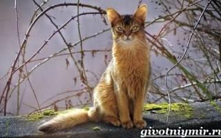 Сомалийская кошка — описание пород котов