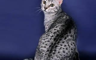 Египетская мау — описание пород котов
