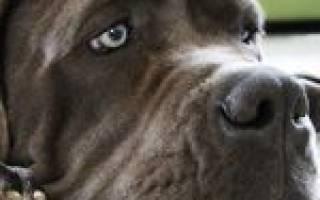 Парагрипп — как лечить у собак