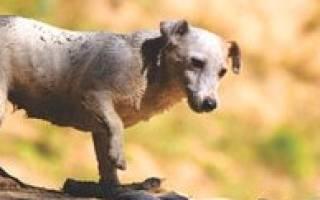 Гипоадренокортицизм (болезнь Аддисона) — как лечить у собак