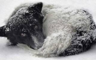 Отморожения (Гипотермия) — как лечить у собак