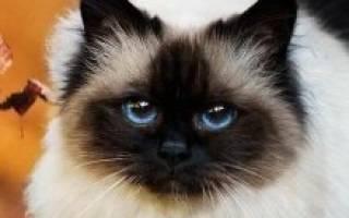 Бирманская кошка — описание пород котов