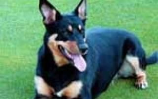 Асцит (Брюшная водянка) — как лечить у собак