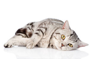 Кошачий иммунодефицит (FIV)