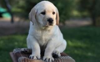 Как приучить щенка к его имени