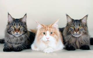 Чем кормить котёнка мейн-куна?